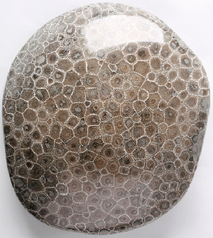 Polished petoskey stone petoskey stones are fossilized coral