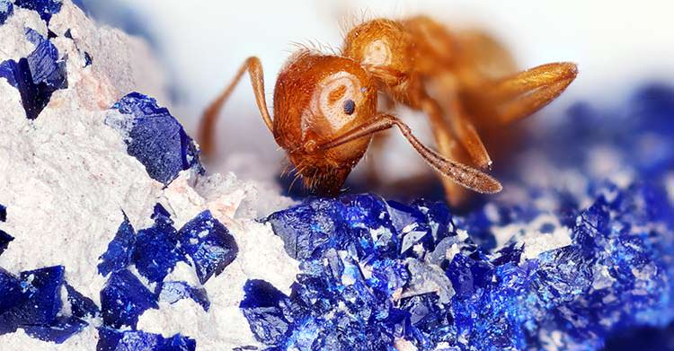 Red ant on azurite and calcite (white)